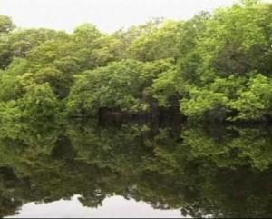 Мангровите гори изчезват с бързи темпове