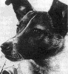 Кучето Лайка – първото живо същество в безтегловност