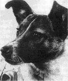 Кучето Лайка