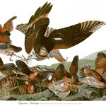 John James Audubons Birds of America (Virginian Partridge)